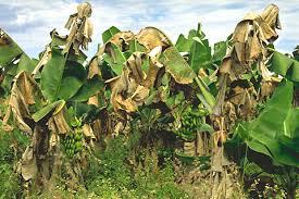 Tropical Plant Diseases - black sigatoka an important disease of banana