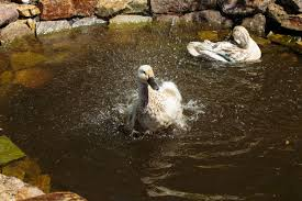 009 ducks 0 jpg