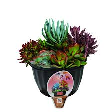 succelents shop 1 5 gallon assorted succulents l24880 at lowes com
