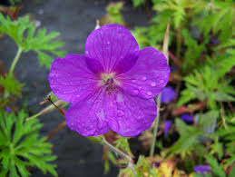 Geranium by Buy Hardy Geraniums By Mail Order