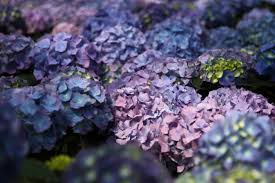 purple and blue flowers purple hydrangea blue flower flowers free nature pictures by