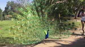 Arboretum by Peacocks In Los Angeles County Arboretum And Botanic Garden