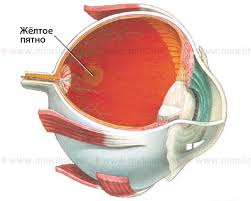 Eye Anatomy And Physiology Min
