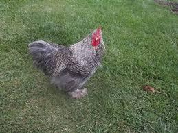 my fuzzy flock backyard chickens