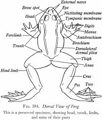 the anatomy of a frog gallery learn human anatomy image