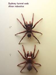 sydney funnel web spider wikipedia