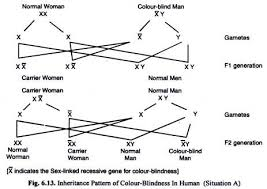 Cause Of Colour Blindness Useful Notes On Linked Inheritance In Human With Diagram