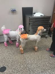 different styles of hair cuts for poodles pin by shane pedersen on poodle haircuts pinterest poodle
