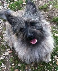 brindle cairn haircut 564 best cairns images on pinterest cairn terrier cairn