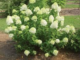 garden how to grow beautiful limelight hydrangea in your garden
