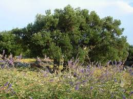 the olive tree symbol of immortality mysterious croatia