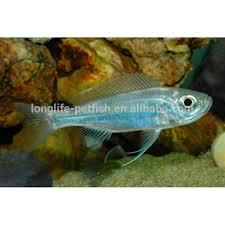 Buy Ornamental Fish Ornamental Fish Taiwan Tank Aquarium Haplotaxodon Microlepis