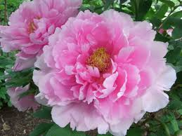 peonies flower peonies big blooms fantastic fragrance