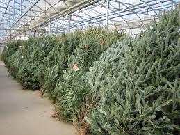 fresh cut christmas trees pahl u0027s market apple valley mn
