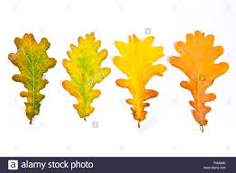 autumn leaves of oak tree isolated on white background with