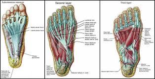 Foot Reflexology Map Foot Map Bones Muscles Foot Reflexology Chart Miss Patty39s Herbal