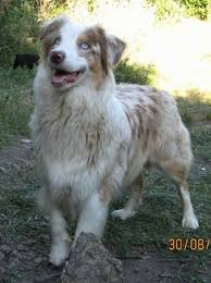 australian shepherd growth chart australian shepherd dog breed information and pictures