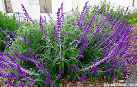 salvia flower pruning trimming 3 different types of salvias in or fall