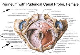 Female Anatomy Image Anatomy Of The Pudendal Nerve Health Organization For Pudendal
