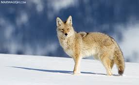 Can Coyotes See Red Light Animal Identification Throwdown Gray Wolf Vs Coyote Max Waugh
