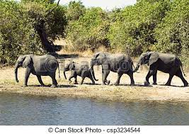elephant family walking towards a river for a bath in stock photo