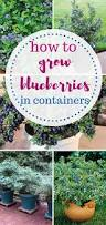 how to grow blueberries indoors growing blueberries blueberry