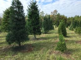 pin by alexanders u0027 choose u0026 cut christmas tree farm on alexanders