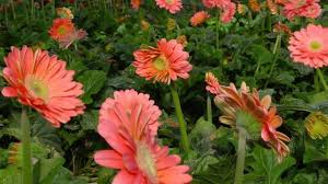 gerbera plant 32 how to grow gerbera plant by seeds