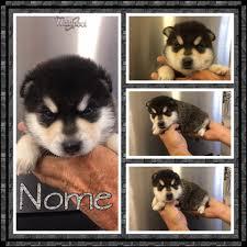 american eskimo dog rescue wichita ks d u0026d u0027s kennel home facebook