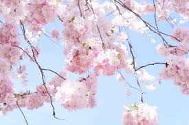 free images branch sky sweet petal bloom produce lush
