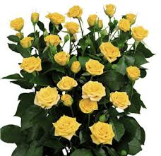 Wholesale Roses Wholesale Roses Spray Choose Colors 100 Stems