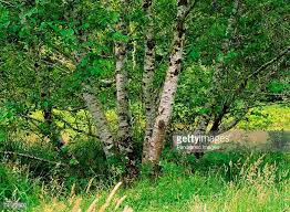 alder tree stock photos and pictures getty images