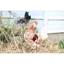 buy easter egger chickens easter egger chickens sold in quantities of 10 at tractor supply co