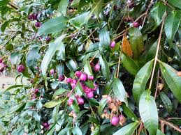 angus u0027s top ten australian plants for hedges gardening with angus