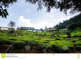 cameron highland tea plantation at sunny day cloudy sky bungalow