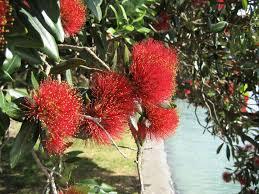 australian origin likely for iconic new zealand tree eurekalert