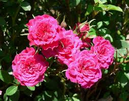 Miniature Indoor Plants by Growing A Miniature Rose Bush Outdoors Hubpages