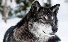 desktop images gray wolf wallpaper