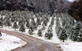 lovely christmas tree farms tennessee part 4 weaver tree farms