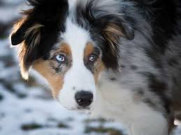 australian shepherd joint problems dog bite prevention tips
