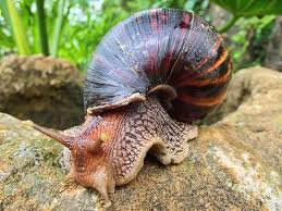 Where Can You Find Snails In Your Backyard Here U0027s How You Can Get Meningitis From A Snail