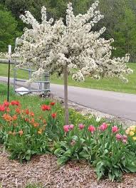 ornamental trees for small gardens cori matt garden
