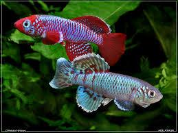 freshwater fish 166 best freshwater fish images on pinterest beautiful plants