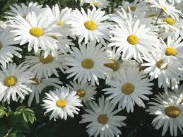 Daisy The Flower - meaning of daisy flower archives jaima company