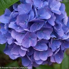 purple hydrangea cityline vienna bigleaf hydrangea hydrangea macrophylla