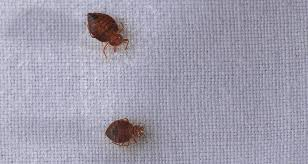 Bed Bugs In Ohio Bed Bugs Burger Kings U0026 Cyndell