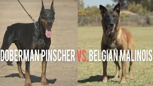 belgian malinois police doberman pinscher vs belgian malinois battle of protection dogs