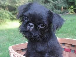 affenpinscher in orlando fl parisfield brussels griffons puppies for sale