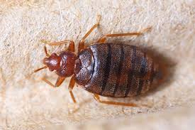 What To Use On Bed Bug Bites How To Treat Bed Bug Bites And Find The Pest Terminix