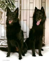 belgian sheepdog groenendael puppies pastel puppy